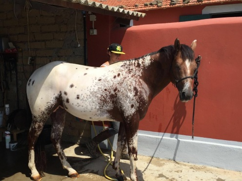 FLAMING RED MOON Appaloosa Stallion 2012 FOR SALE!